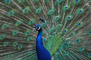 2nd-John-Blough-Peacock-Salisbury-Zoo-Spring